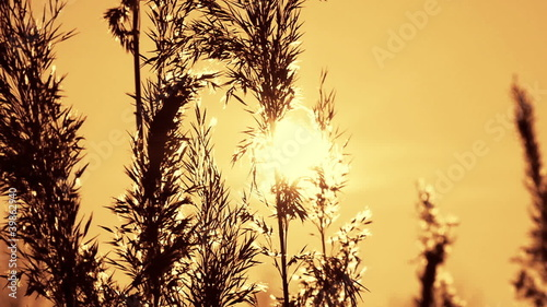 Reeds swaying in the breeze, winter sunset