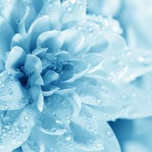 Belle fleur bleue avec des gouttes