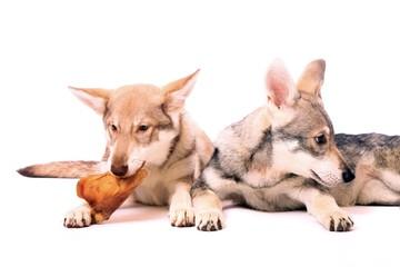zwei junge Hunde Wolfshunde