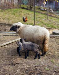 sheep with babies