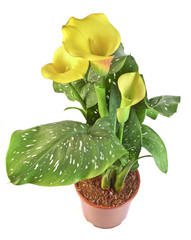 yellow calla in a flowerpot