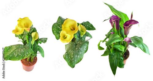 Staande foto Lelietje van dalen calla flowers collection