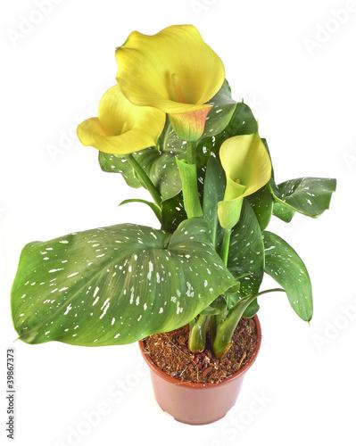 Staande foto Lelietje van dalen yellow calla in a flowerpot