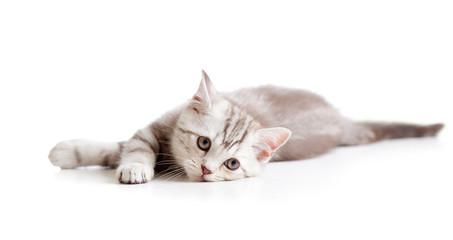 Lying sad brittish tabby kitten