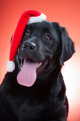 black labrador retriever wearing red cap of santa