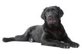 Black Labrador retreiver lying on isolated  white