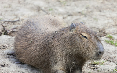 Tired Capybara