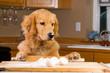 Golden Retriever Dog cooking in the kitchen - 39880133