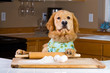 Golden Retriever Dog cooking in the kitchen