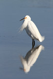Snowy Egret in Breeding Plumage with Reflection in Water