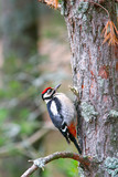 Woodpecker on pine trunk