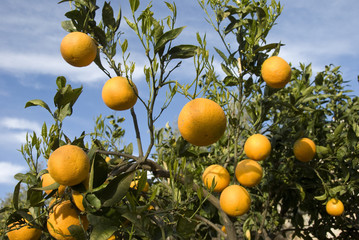 Orange trees with fruits on plantation.