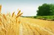 Grain field - 39888312
