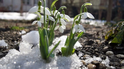 melt snow and snowdrops flower