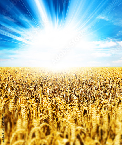 sunshine wheat crops