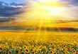 Fototapeten,sonnenblume,wiese,feld,sonnenaufgang