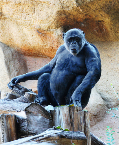 A beautiful ape sitting in the zoo on a cliff background