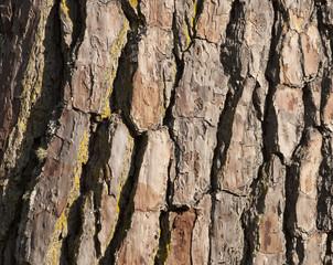 pine tree  bark background.