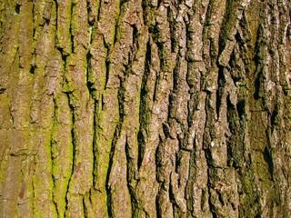 old oak bark as background