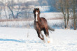 Welsh brown pony stallion runs gallop in front