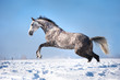 White (grey) horse portrait in motion in the winter