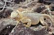 Santa Fe land iguana, Galapagos Islands, Ecuador