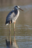 Great Blue Heron (Ardea herodias) Wading in a Shallow Pond poster