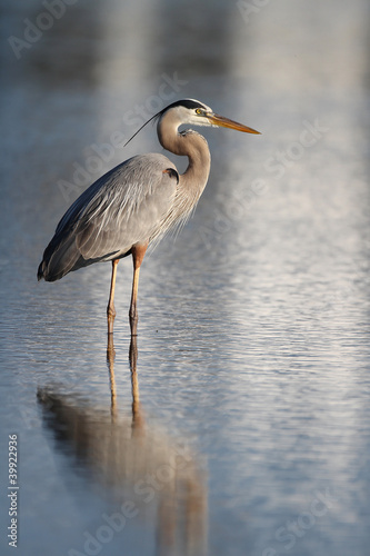 Great Blue Heron (Ardea herodias) Wading in a Shallow Pond