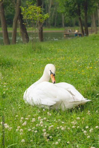 White swan in the park