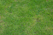 Green grass texture background field.
