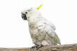 White parrot on a branch on the white