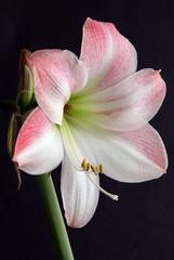 pink flower of amaryllis pot-plant