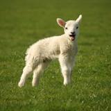 Fototapeta Wielkanoc - mało - Zwierzę Hodowlane