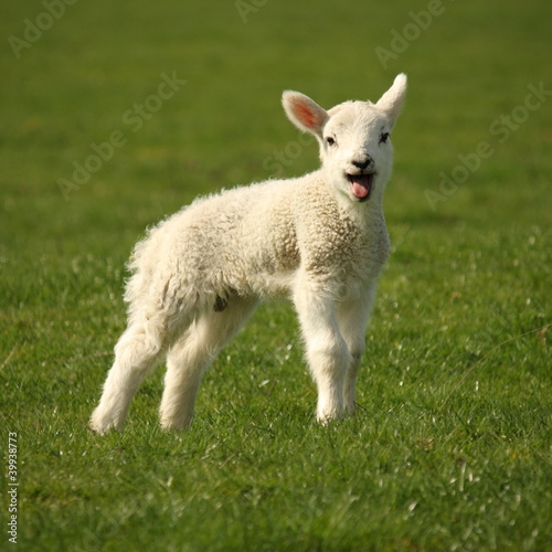 bleating lamb