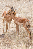 Two Grant's gazelles