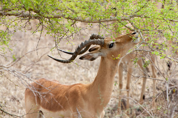 Grant's gazelle eating leaves