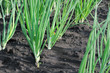 close-up of the onion plantation
