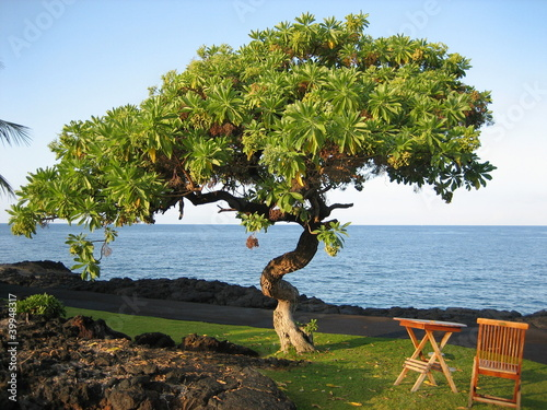 Relax under a Hawaiian Heliotrope Tree (Tournefortia argentea)