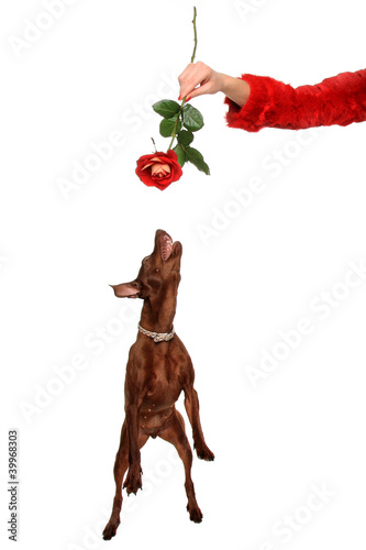dog and a red rose