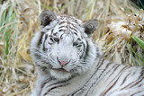White tiger looks young