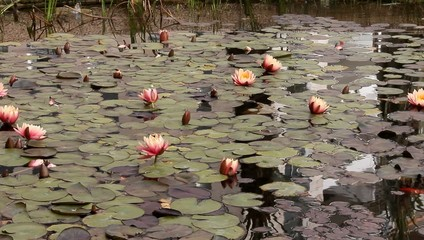 Pond  with water plants (lotuses, lilies)  and goldfish
