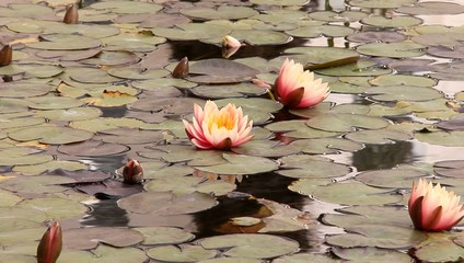 Pond with water plants (lotuses, lilies)