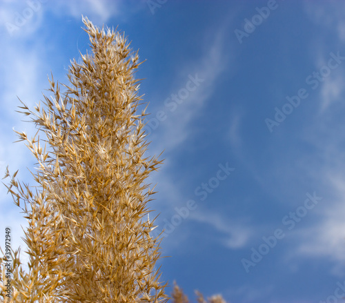Dry reed grass with blue sky as background