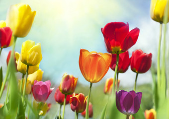 Spring Beauties, colorful tulips