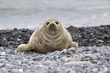 Kegelrobbe am Strand der Helgoländer Düne