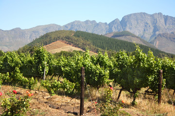 Grape vines in Montague, Route 62, South Africa.