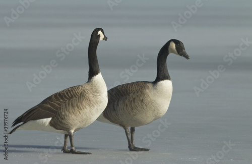 Canadian Goose on the ice