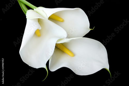 three white Calla lilies on a black background