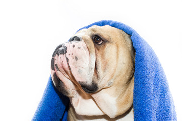 Bulldog in a towel