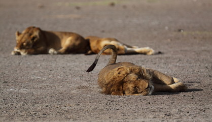 Lions taking a nap